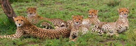 Pięć gepardów w sawannie Kenja Tanzania africa Park Narodowy kmieć Maasai Mara obraz stock
