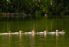 Pięć kaczek Obraz Stock
