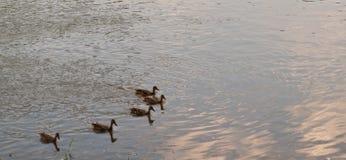 Pięć kaczek na rzece zdjęcia royalty free