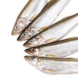 Pięć kawałków surowa delikatności ryba na białym tle przed kulinarnym proteinowym diety naczyniem zdjęcie royalty free