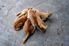 Pięć kolorów żółtych Tabby kot Relaksuje Na podłoga Zdjęcie Royalty Free
