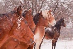 Pięć koni w miecielicie, wszystko przyglądającej ten sam kierunek Obraz Stock