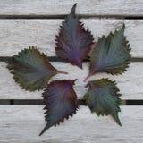 Pięć liści purpurowy shiso perilla ziele zdjęcie royalty free