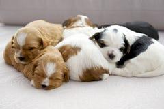 Pięć małych szczeniaków snuggling Obrazy Royalty Free