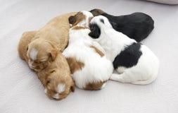 Pięć małych szczeniaków snuggling Zdjęcie Royalty Free
