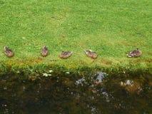 Pięć mallards kłamają na trawie blisko stawu obraz royalty free