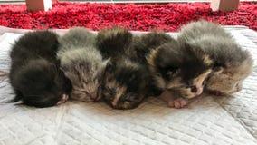 Pięć nowych figlarek układali z rzędu Zdjęcie Royalty Free