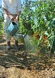 pięć ogrodowych pomidorów zdjęcie stock