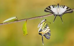Pięć swordtail motyla prętowy etap życia obrazy stock