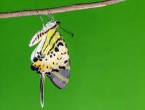 Pięć swordtail prętowy motyl (antiphates pompilius) Obrazy Royalty Free