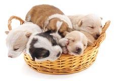 Pięć szczeniaków w koszu Zdjęcie Royalty Free