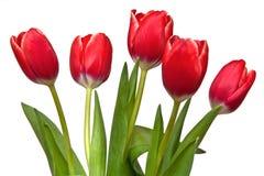 pięć tulipan Zdjęcia Stock