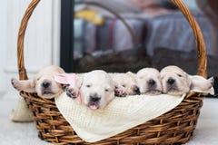 Pięć Uroczych golden retriever szczeniaków w łozinowym koszu obraz stock