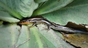 Pięć wykładająca skink jaszczurka w Mullen roślinie Zdjęcia Stock