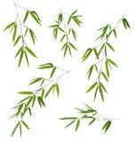 Pięć zielonych bambusów gałąź odizolowywających na bielu Obrazy Royalty Free