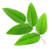 pięć zielonych liść Obraz Royalty Free