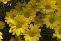 Piękna Żółta kwiatu gerbera roślina w ogródzie Obraz Royalty Free