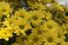 Piękna Żółta kwiatu gerbera roślina w ogródzie Obraz Stock