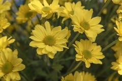 Piękna Żółta kwiatu gerbera roślina w ogródzie Obrazy Stock