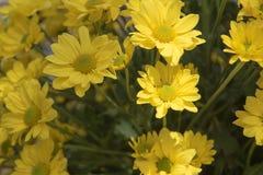 Piękna Żółta kwiatu gerbera roślina w ogródzie Zdjęcie Stock