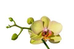 Piękna Żółta orchidea na białym tle zdjęcia royalty free