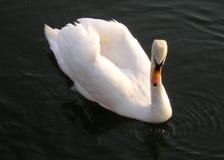 piękna łabędzia. Zdjęcia Royalty Free