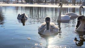 Piękna Łabędzia ptak rodzina przy Zima jeziorem zbiory wideo