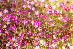 Piękna łyszczec kwitnie, łyszczec kwiaty dla tła zdjęcia royalty free
