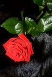 Piękna świeża czerwieni róża 2007 pozdrowienia karty szczęśliwych nowego roku Czarny tło Fotografia Stock