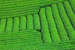 Piękna świeża zielonej herbaty plantacja Zdjęcia Stock