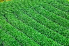 Piękna świeża zielonej herbaty plantacja Fotografia Stock