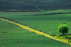 Piękna świeża zielonej herbaty plantacja Obraz Stock