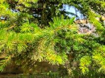 Piękna świerczyna w parku blisko budynku Zamyka w górę widoku sosnowe igły evergreen tree Zdjęcia Royalty Free