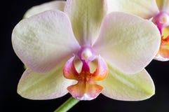 Piękna żółta orchidea na czarnym tle Obrazy Stock