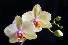 Piękna żółta orchidea na czarnym tle obraz royalty free