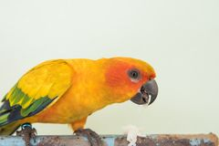 Piękna żółta papuga, zbliżenia słońca Conure łasowania ptasi jedzenie obraz royalty free