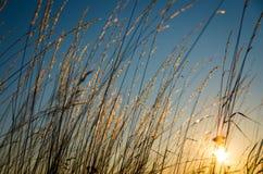 Piękna żółta trawa Zdjęcie Stock