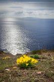 Piękna żółta wiosna kwitnie krokusy na wodnym tle pierwszy wiosenny kwiat fotografia stock