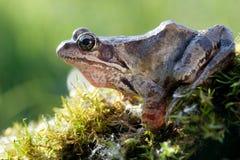 piękna żaba Fotografia Royalty Free