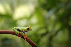 Piękna żaba w zwrotnika Agalychnis lasowych callidryas, Przyglądająca się Drzewna żaba, zwierzę z dużymi czerwonymi oczami w natu Zdjęcie Royalty Free