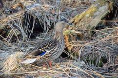 Piękna żeńska mallard kaczka w wiosna lesie Obrazy Royalty Free