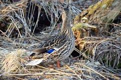 Piękna żeńska mallard kaczka w wiosna lesie Obraz Stock