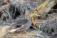 Piękna żeńska mallard kaczka w wiosna lesie Zdjęcia Stock