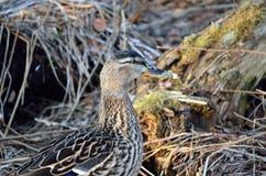 Piękna żeńska mallard kaczka w wiosna lesie Zdjęcie Stock