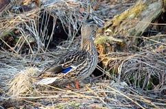 Piękna żeńska mallard kaczka w wiosna lesie Fotografia Stock