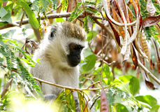 Piękna afrykanina Vervet małpa Fotografia Royalty Free
