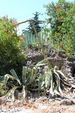Piękna agawy roślina Zdjęcia Stock