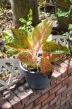 Piękna aglaonema roślina Obrazy Royalty Free