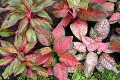 Piękna aglaonema roślina Fotografia Royalty Free