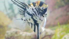 Pi?kna akwarium ryba p?ywa w akwarium Zako?czenie ryba zdjęcie wideo